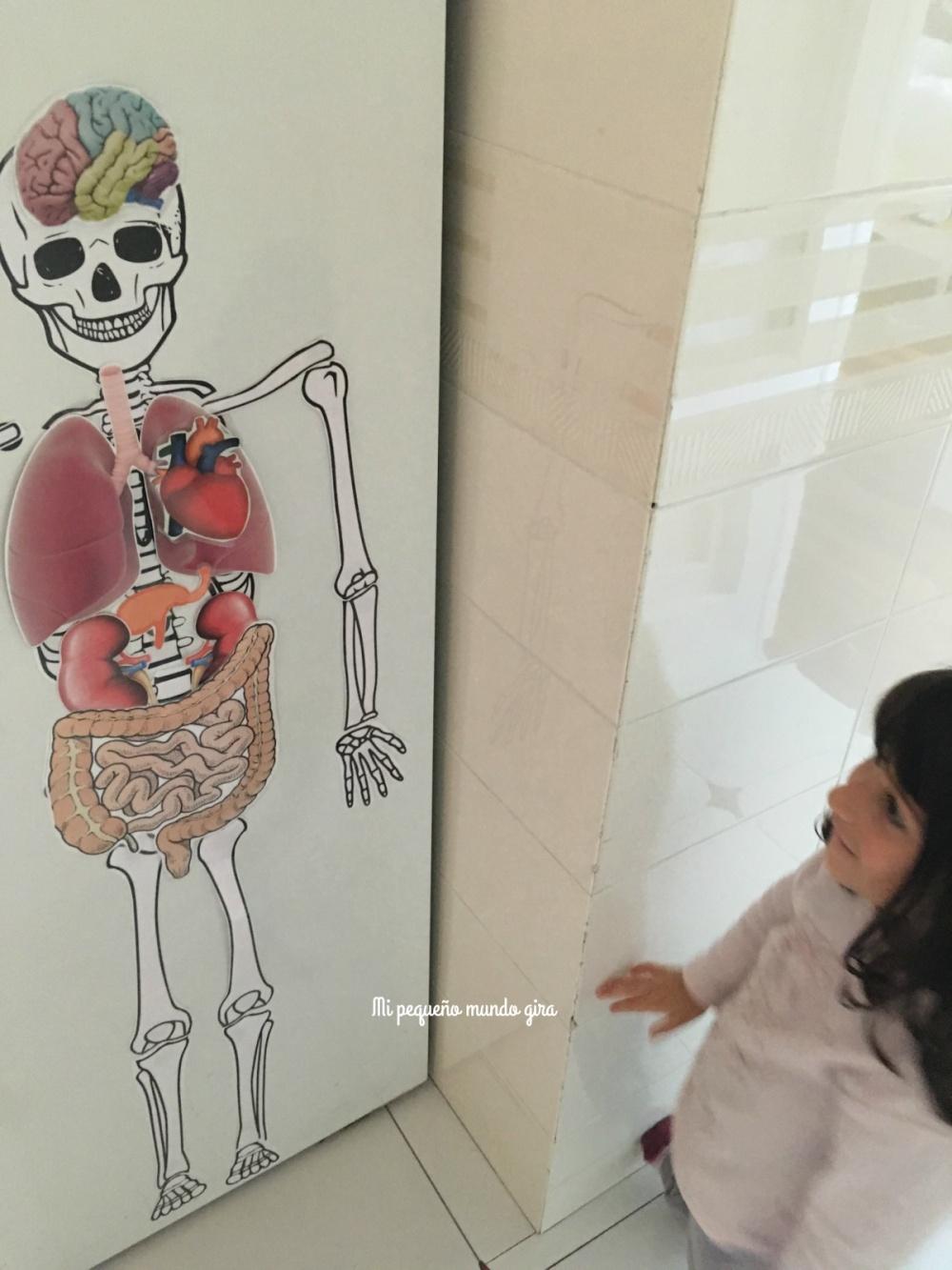 pegar con iman el esqueleto y los organos