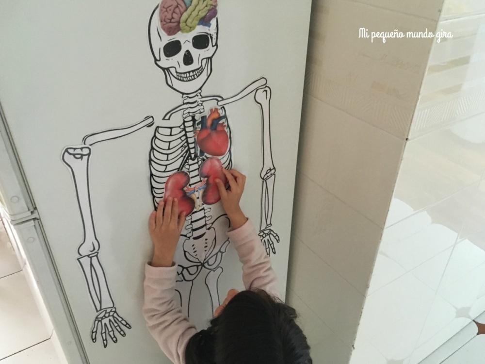 pegar con imanes el esqueleto y los organos